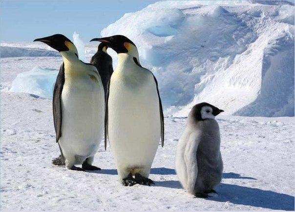 Почему у пингвинов не мерзнут ступни?
