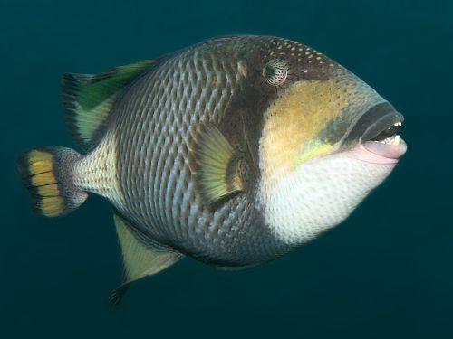 Триггер-фиш - одна из самых опасных рыб коралловых рифов