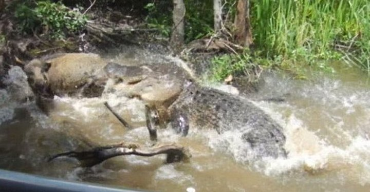 крокодил и свинья