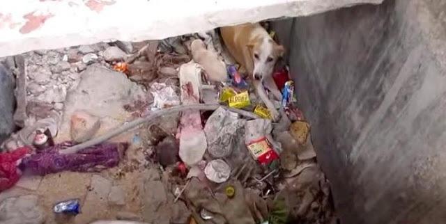 Эти несчастные мама-собака и её щенята жили в мусорной яме. Какое счастье, что их заметили!