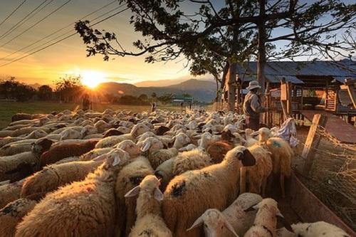 Видео, как через центр Мадрида полторы тысячи овец прогнали