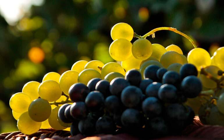 МИР РАСТЕНИЙ. Виноград. Легенды, мифы, предания (3)