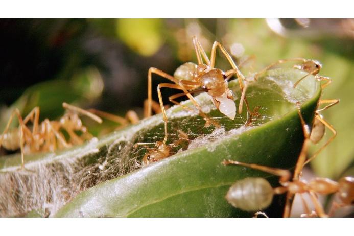 Муравьи-ткачи соединяют края листьев при помощи шелковых нитей, оставленных личинками