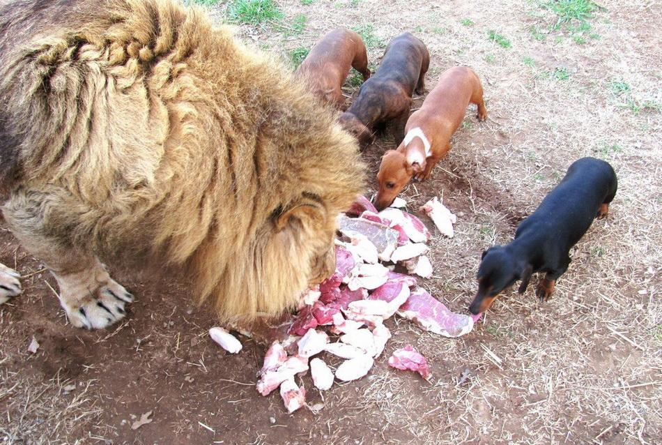 Лев, воспитанный таксой