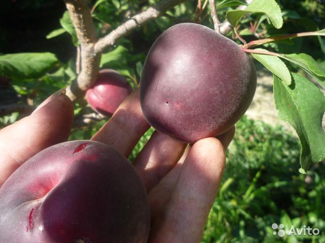Черный абрикос набирает популярность в средней полосе
