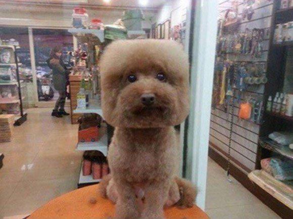 Квадратные собаки: новая мода в Тайване на идеально круглые и квадратные стрижки собак