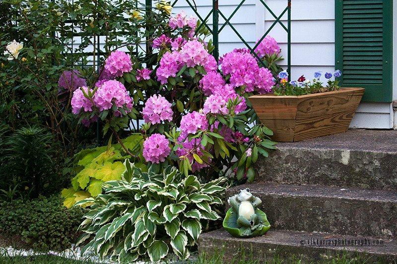 Азалия цветов на клумбе
