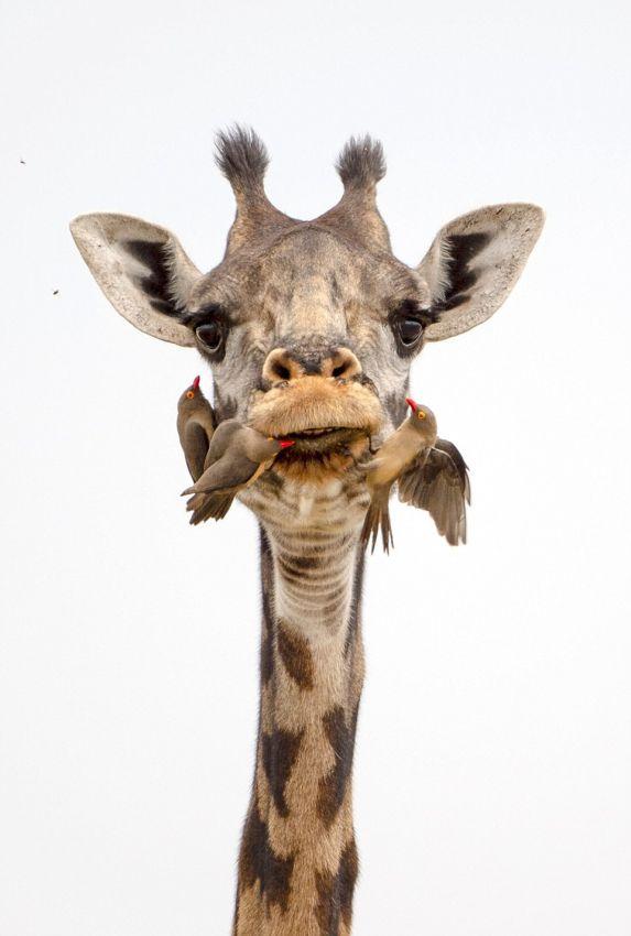 Как жирафы чистят зубы