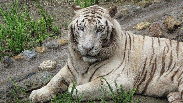 В Японии белый тигр убил смо…
