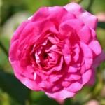 """Роза """"Super Dorothy"""" цветок"""