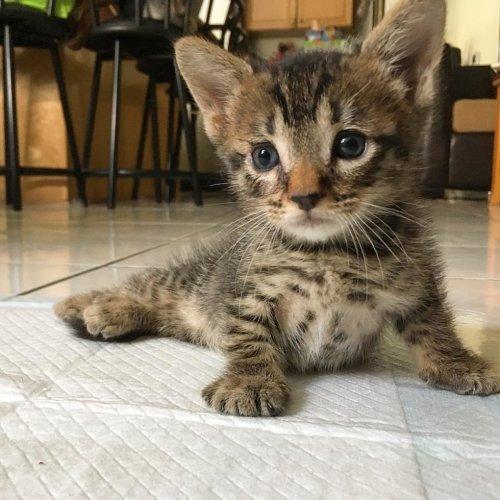 Этого котенка советовали усы…