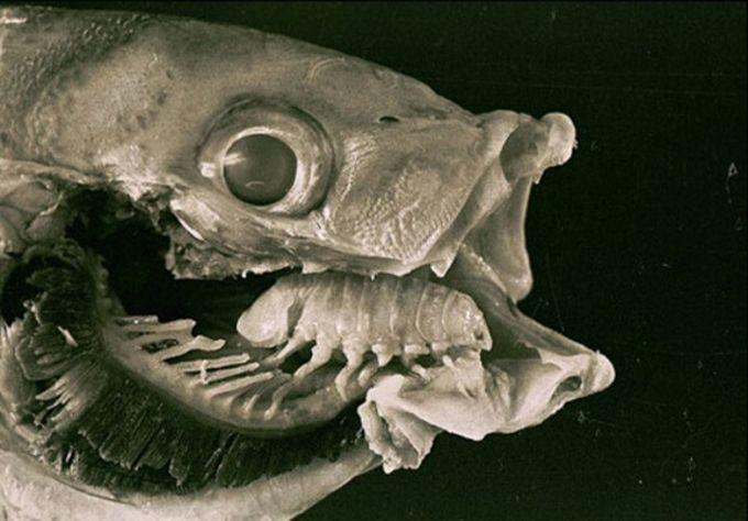 15. Этот паразит съедает язык рыбы и живет на его месте. Как по мне, очень удобно. животные, природа