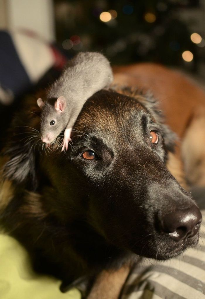 Они вечно норовят сесть на голову животные, крыса, милота, позитив