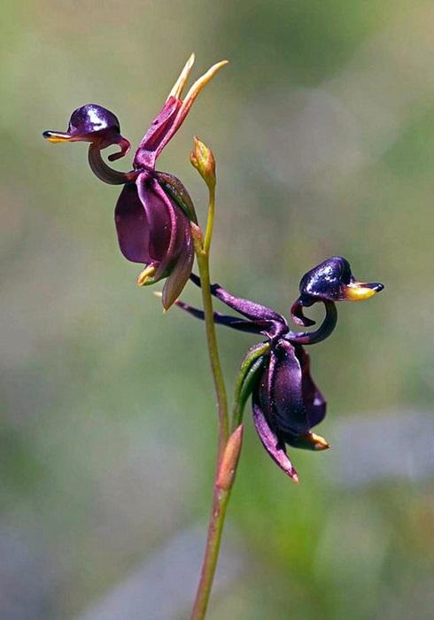 Австралийская орхидея, как две капли воды похожая на точеную фигурку летящей утки с четко очерченным клювом.