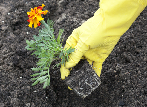 бархатцы, выращивание рассады, высадка рассады в грунт
