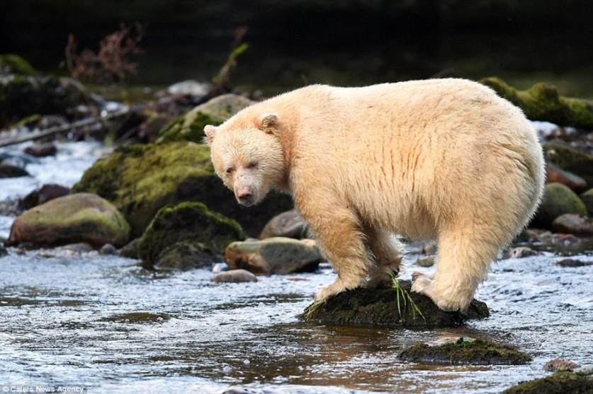 """""""Призрак леса"""". Кермодский медведь попал в объектив фотографа Александра Лей"""