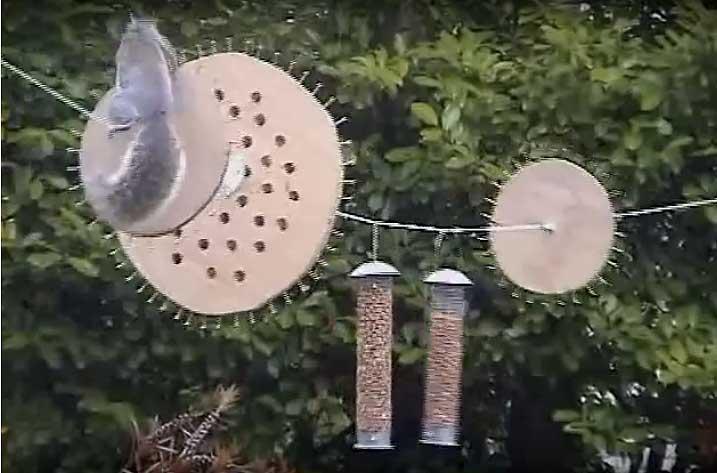 Миссия выполнима! Неугомонная белка-ниндзя пытается украсть еду у птиц