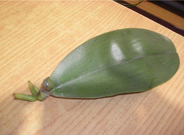 Появление корней на листе орхидеи.