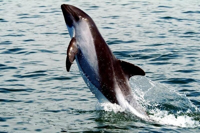 Белобрюхий дельфин дельфины, животные