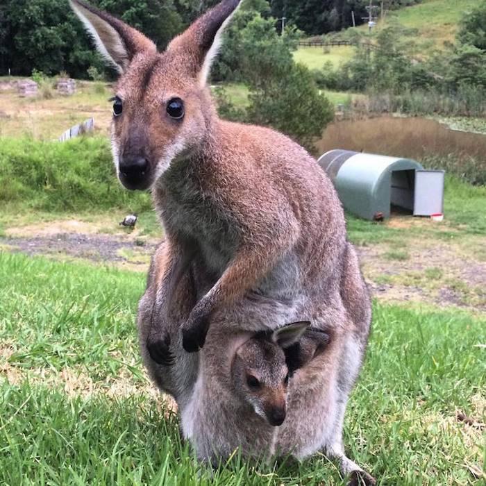 Благодарная кенгуру принесла показать детеныша женщине, которая её спасла