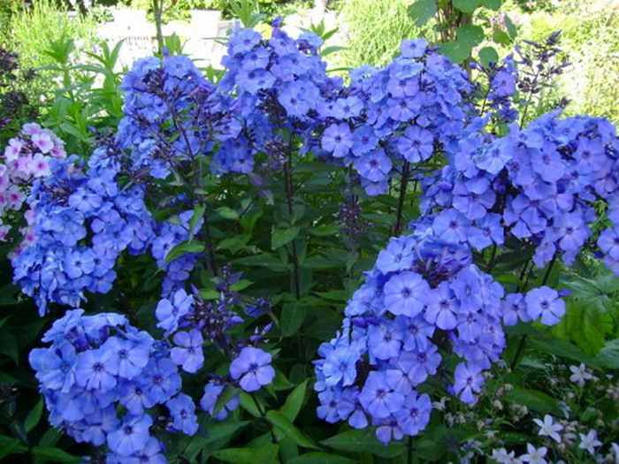 Цветы флокс многолетние