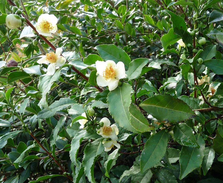 15. Чайное дерево интересно, продукты, урожай