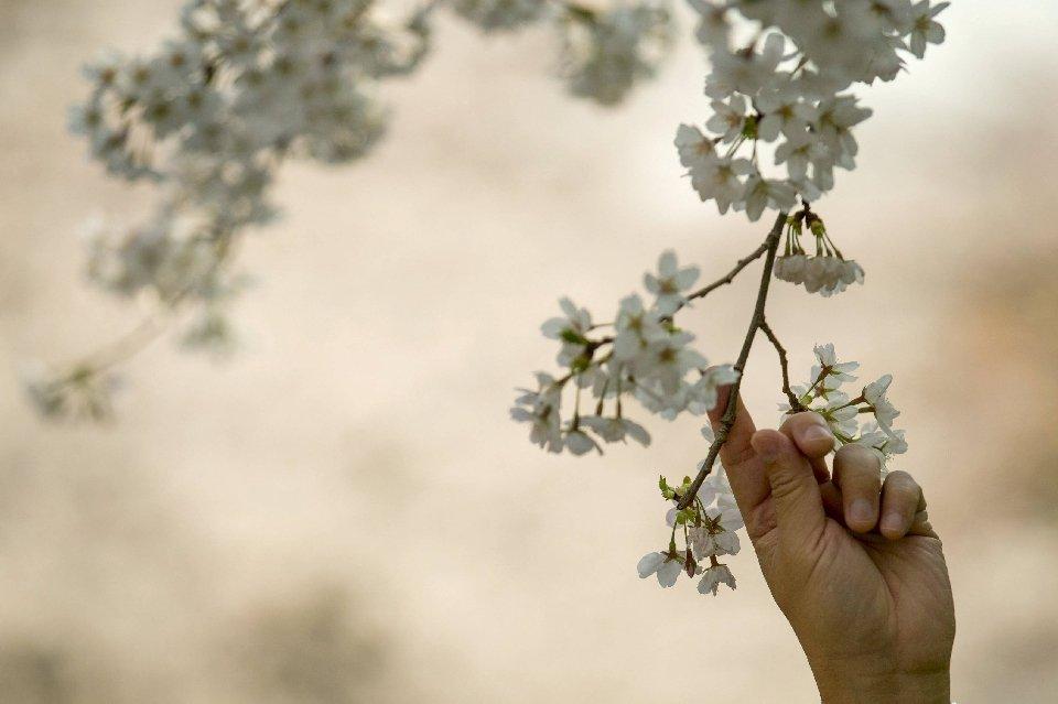 традиция любования цветущей сакурой-4