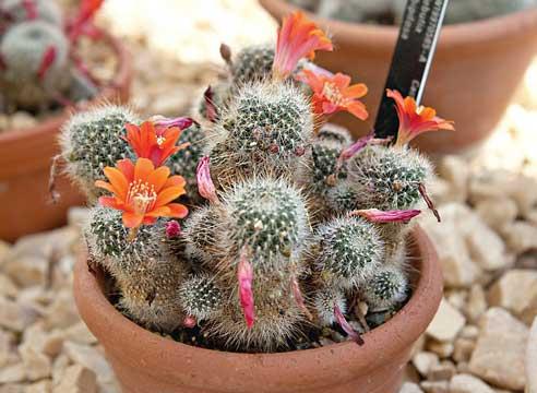 кактусы уход, цветущие кактусы, Кактус Ребуция, Rebutia