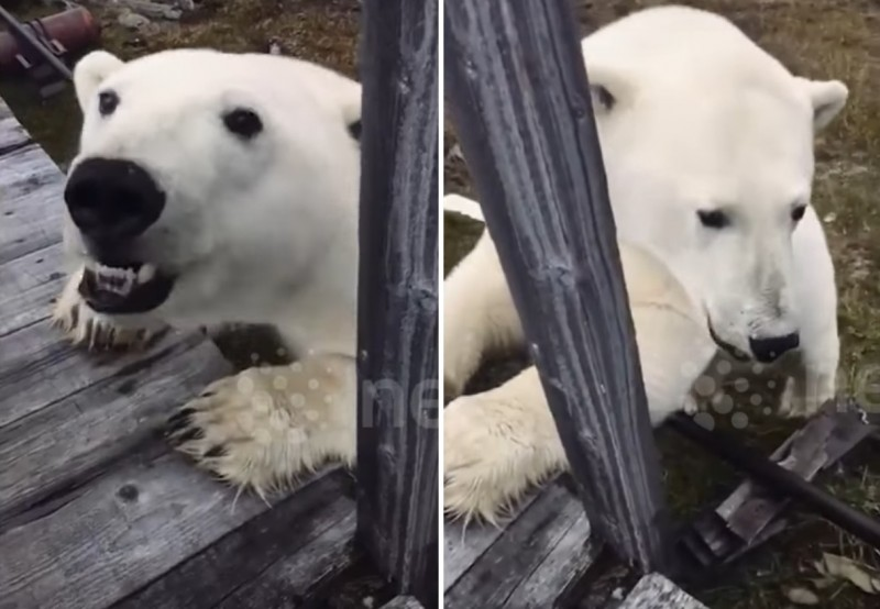 Любопытный белый медведь при…