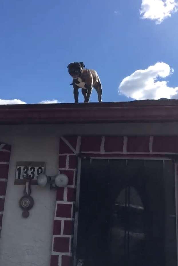 Люди приехали спасать питбуля, застрявшего на крыше. Но он не выглядел испуганным и слезать не хотел