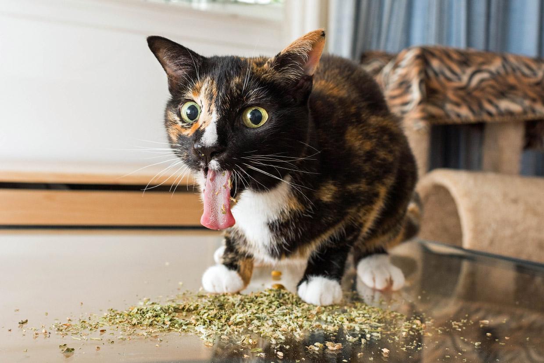 Наркотики для кошек