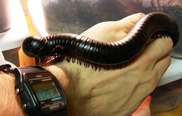 13. Гигантская африканская многоножка (Giant African millipede) животные, факты