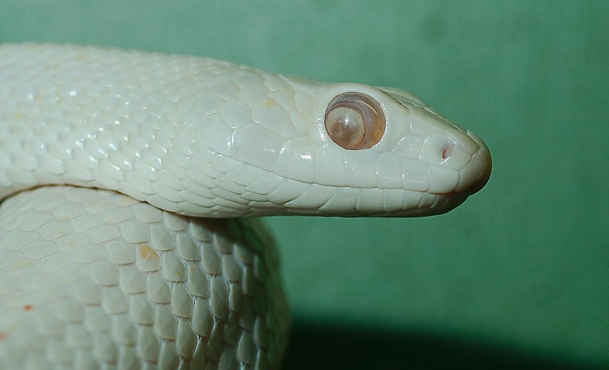 8. Змея Elaphe obsoleta lindheimeri в мире, змея, красота