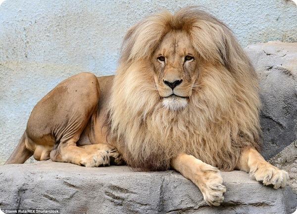 Знакомьтесь, лев Леон из зоопарка Чехии