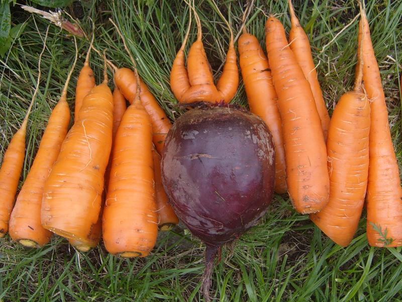 Когда сеять морковь и свеклу
