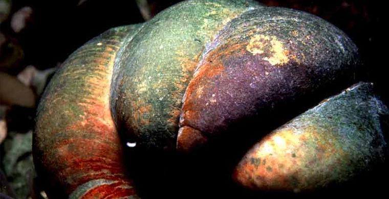 Морская туфелька гермафродит, животные, пол