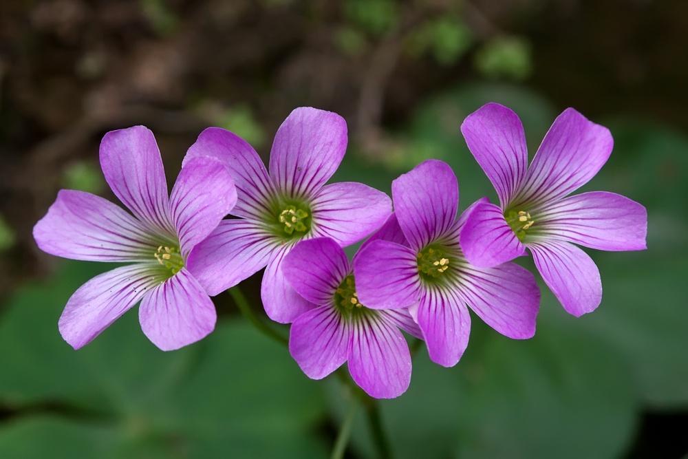Кислица с розовыми цветками