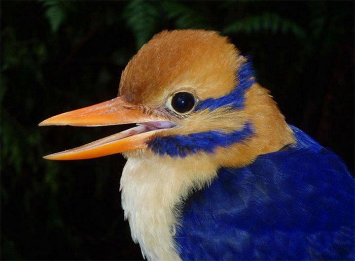 Американский орнитолог убил редчайшую птицу для коллекции