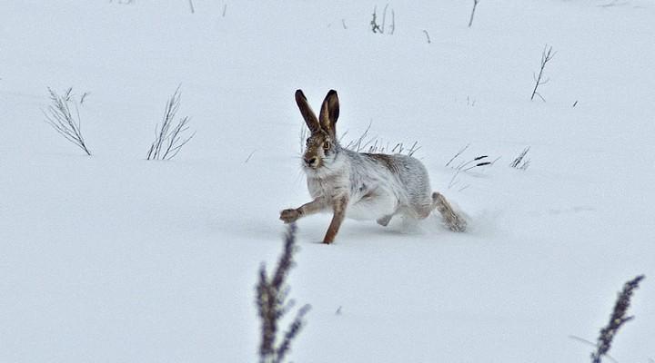 Тропление зайцев по пороше. 18 советов молодому охотнику