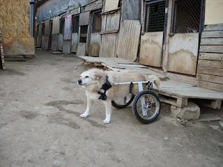 История собаки инвалида. Магуша.