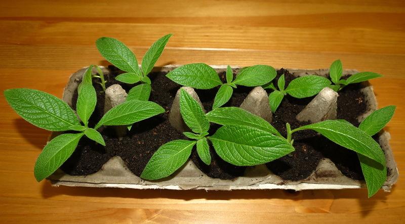 Выращивание кроссандры в домашних условиях 326
