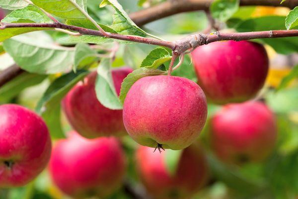 Вечный вопрос: почему деревья не плодоносят?