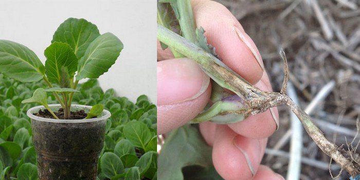 черная ножка у рассады капусты что делать
