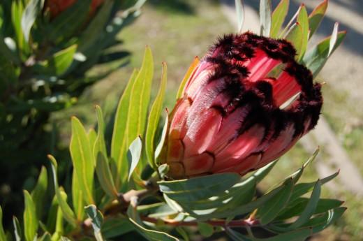 Протея лавролистная (Protea laurifolia)