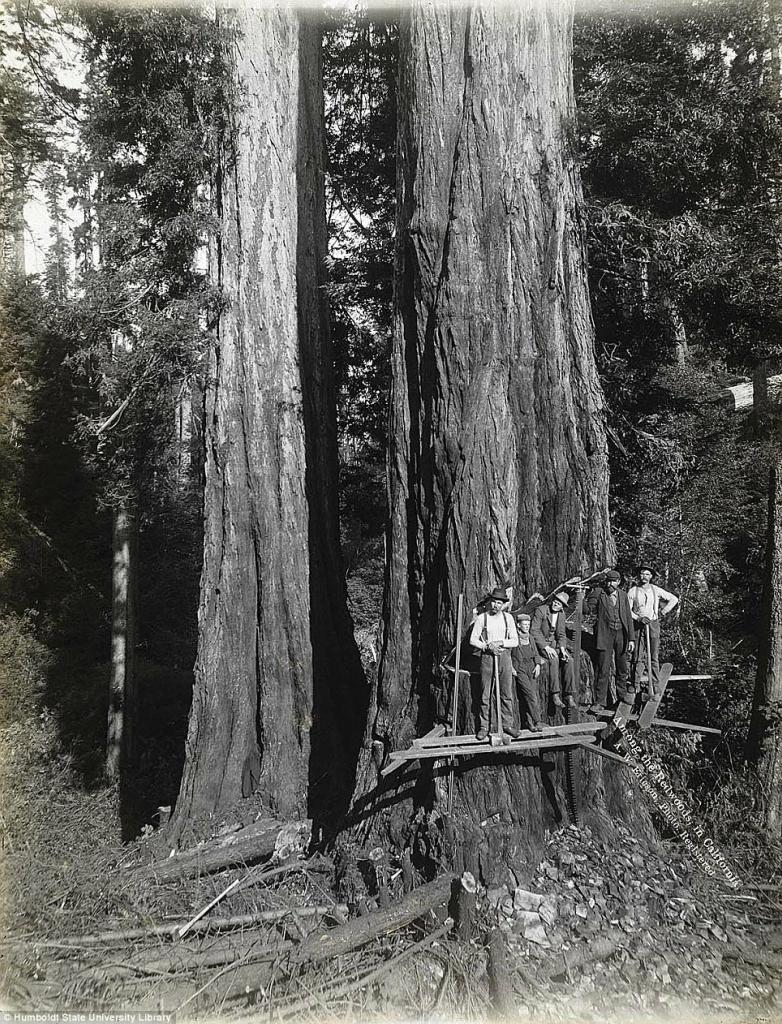 Вырубка огромных секвой в Калифорнии