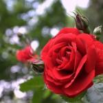 """Роза """"Sympathie"""" цветок"""