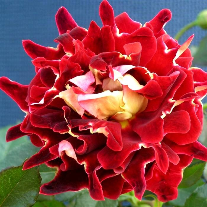 Кружевные розы - удивительное зрелище!