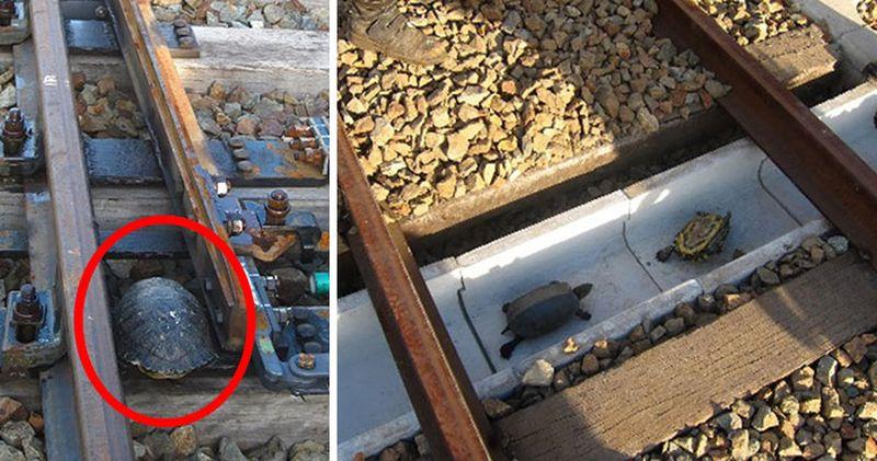 Японские железнодорожники построили тоннели для черепах