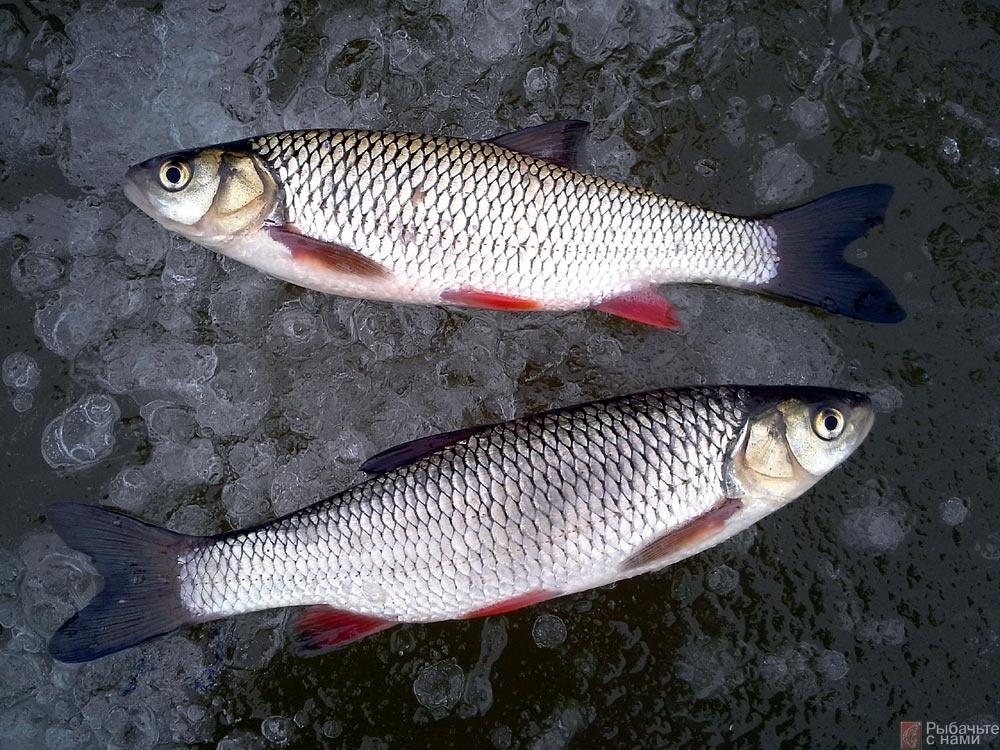 Как и у других рыб, у голавлей по мере приближения весны активность возрастает. Они чаще ловятся в прибрежной акватории, попадаясь порой на глубине до метра.