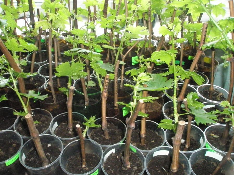 Супер эффективный способ размножения винограда